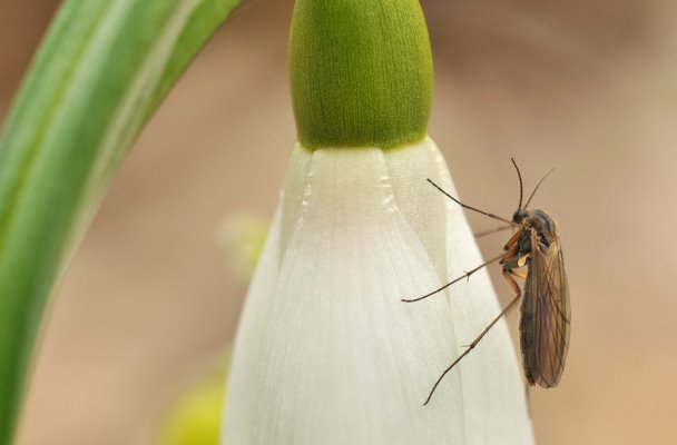 Mosquito and flower