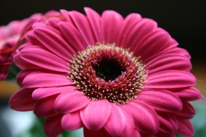 Pink-Gerbera-Daisy
