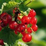 redcurrant-berries_00450447
