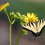 Pollinators_Swallowtail-on-silphiumDSC_0670-1024x683