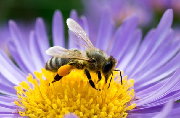 honeybee-flower11